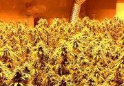 ¿Cuál es el mejor foco para mi cultivo de marihuana?