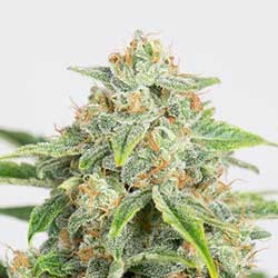 Comprar semillas medicinales de Dinamed Auto CBD