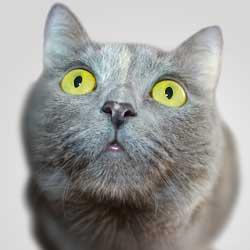 Gato consumidor de cannabidiol