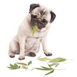 Perro comiendo plantas de marihuana con cannabidiol