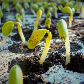 Comprar semillas a granel de marihuana al mejor precio y de la mejor calidad