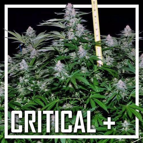 Critical + | Dinafem