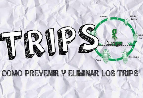 TRIPS EN TU CULTIVO | COMO PREVENIR Y ELIMINAR LOS TRIPS